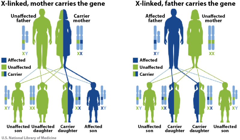 Possible outcomes with each newborn are different when either the mother or the father carries the deficient gene